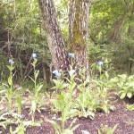 山梨◆八ヶ岳/清里・清泉寮に咲く青いケシの花【八ヶ岳南麓・高根の里だより】