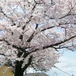 東北◆某地域/春の楽しみといえば・・・【地域担当・出張余話】
