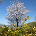 山梨◆北杜市/桜に出会う場所 ~ 浮き立つ心とともに【巡り巡って北杜市探訪記】
